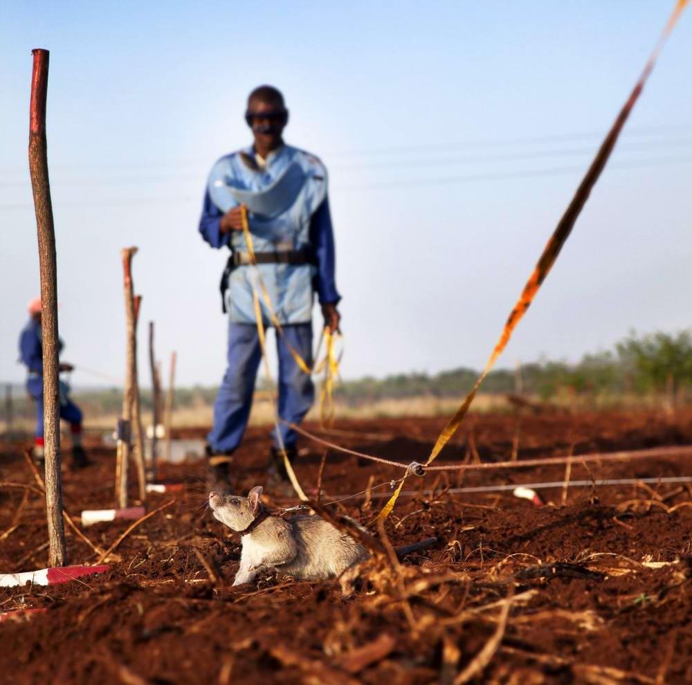 Гамбийские крысы, как лучшие саперы и вынюхиватели противопехотных мин (11)