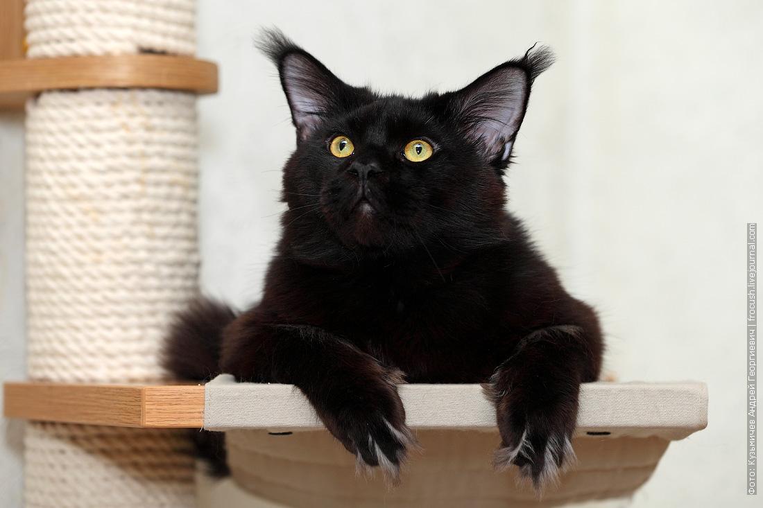 Мейн-кун черный кот фотография
