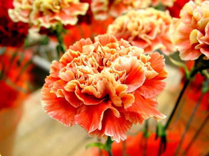 Maroosya carnation