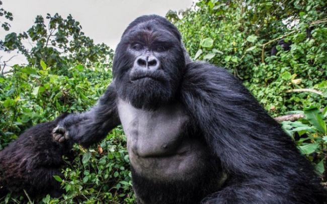 Горная горилла за секунду до того, как ударила по фотоаппарату.