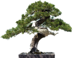 bonsai-2.png