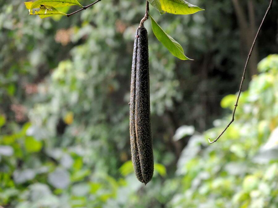 Плоды-бобы