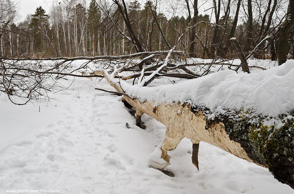 """Фотография 8. Дерево, которое обглодали бобры в природном парке """"Бажовские места"""". (параметры съемки на зеркальный фотоаппарат: ISO 200, ФР 20 (30мм), f=7.1, 1/50c)"""