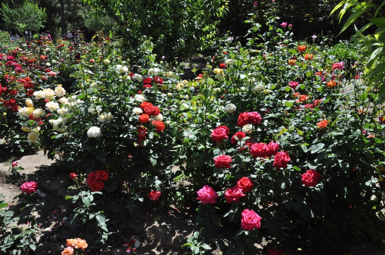 Розарий в парке Цзиншань