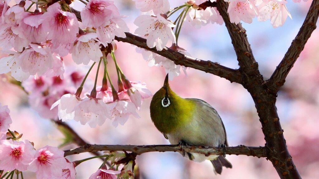 cerejeira-japonesa-prunus-campanulata-1373922824240_1920x1080.jpg
