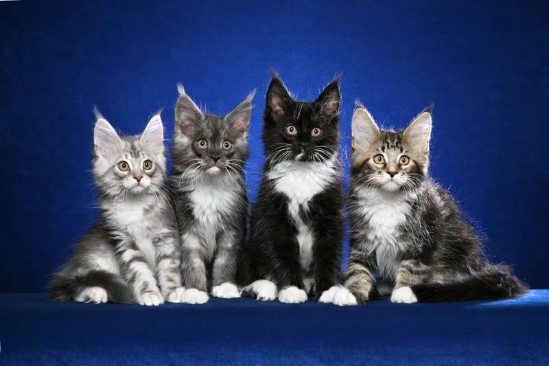 поздравления с кошками мейн-кун когда-либо том, сколько