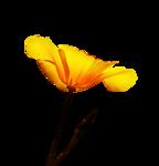 calguisflower22910.png