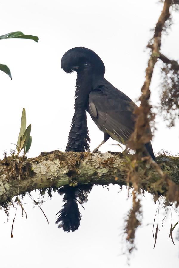 8. Эквадорская зонтичная птица ( flickr.com ) Вздутая сережка, свисающая с центра грудной клетки сам