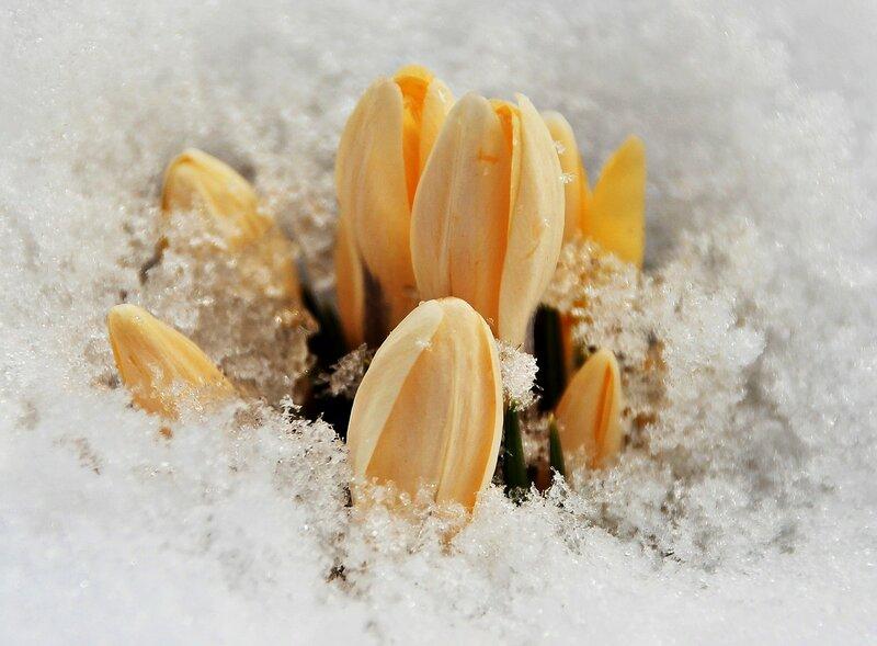 А на пороге нежная весна, Я буду, как подснежник прорастать