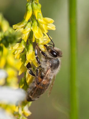 Пчела медоносная (Apis mellifera) Автор: Владимир Брюхов