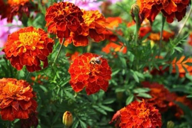«Над чорнобривцями кружля бджола спізніла...»