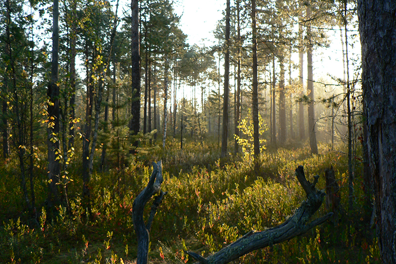краски осени рассвет на болоте