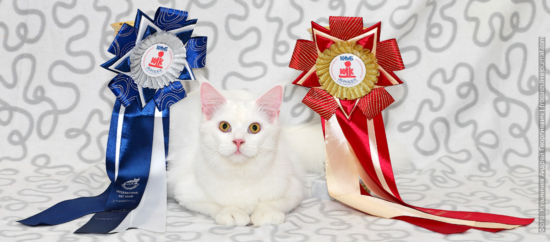 белая кошка Мейн-кун