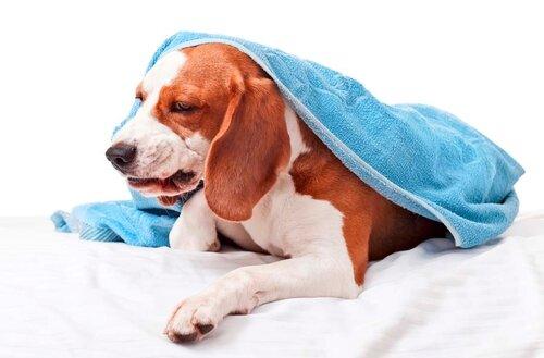 фантомные боли у собак