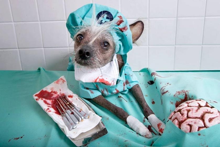 Проект «Чини». Фотографии китайской хохлатой собачки 0 141aac de0ee31d orig