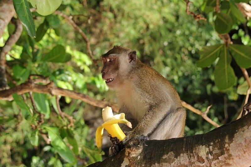 Длиннохвостый макак (яванский, макак-крабоед, Macaca fascicularis) кушает банан