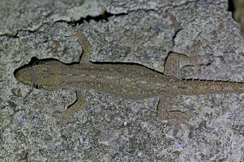 Почти неразличимый, замаскированный на фоне камня геккон полупалый домовой (Hemidactylus frenatus)