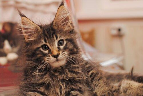 Купить котёнка мейн-кун и не прогадать