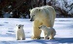 Медведица-с-малышами..jpg