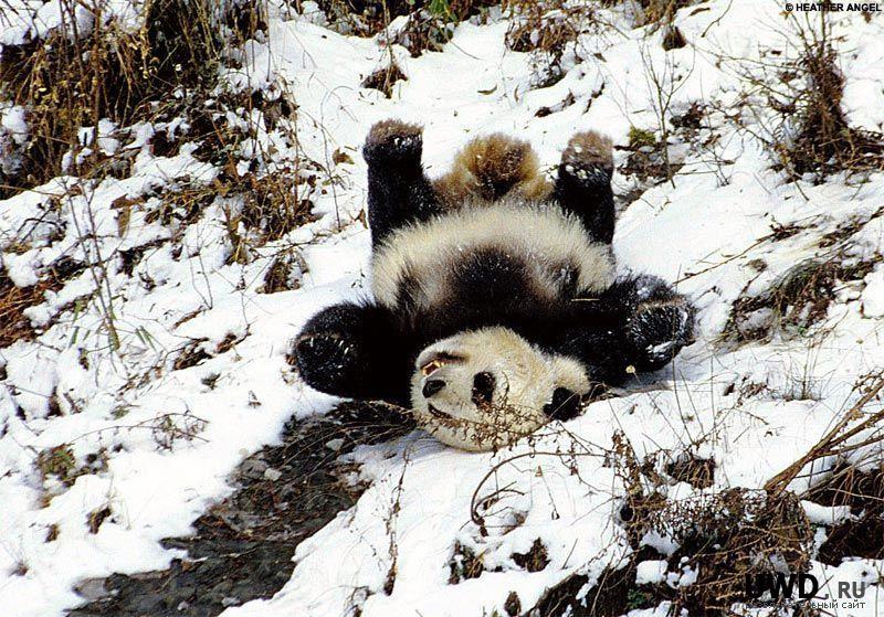 Панда любит снег