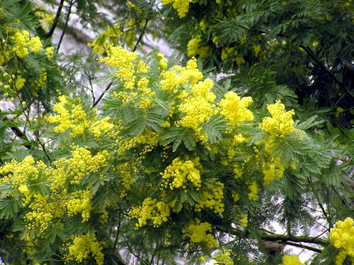 Мимиза цветёт в феврале...