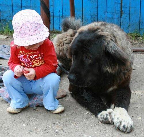 питомник кавказских овчарок Загорские дали