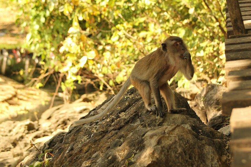 Длиннохвостый макак (яванский, макак-крабоед, Macaca fascicularis) что-то ест на камне