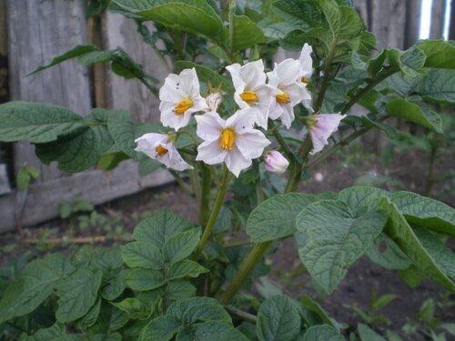 Цветение картофеля.
