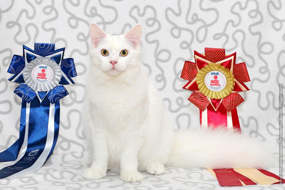 продам белую кошку Мейн-кун