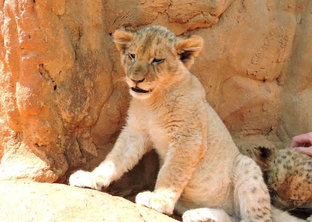lions28.jpg