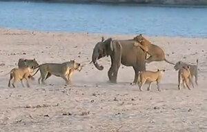 Смертельная схватка: Стая из львов напала на слонёнка