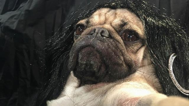 Мопс снялся в пародии на эротические селфи Кардашьян