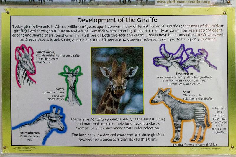 evolutionary history of the okapi the colsest relative of the giraffe