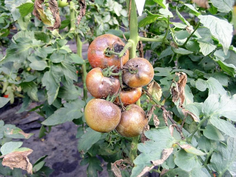 вредители овощных культур защищенного грунта