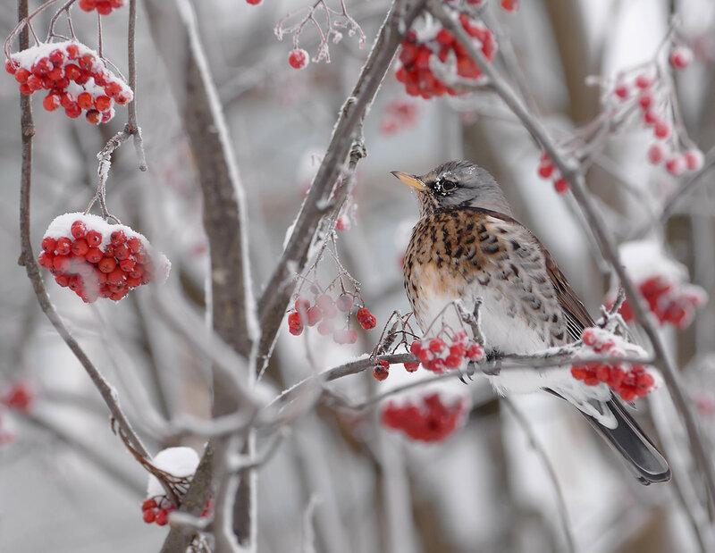 Зимний дрозд