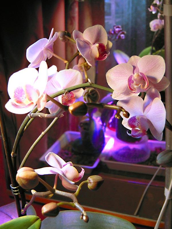 Зимнее цветение орхидеи