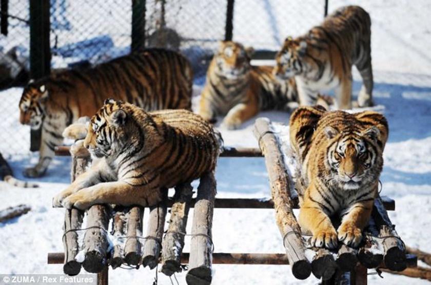 Стая амурских тигров расслабляется после сытного обеда 0 141af4 2d8535e7 orig