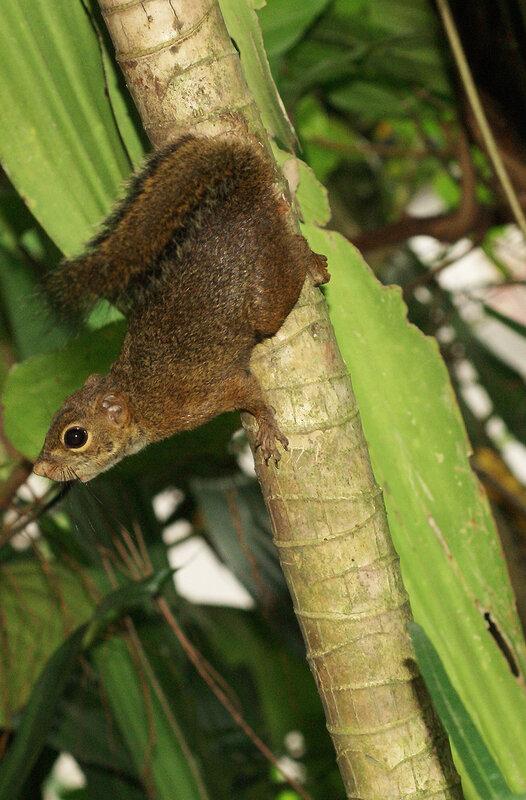 Стройная белка (Sundasciurus tenuis) в Сингапуре