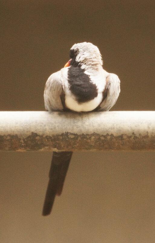 Капская масковая горлица The Namaqua dove Oena capensis.jpg