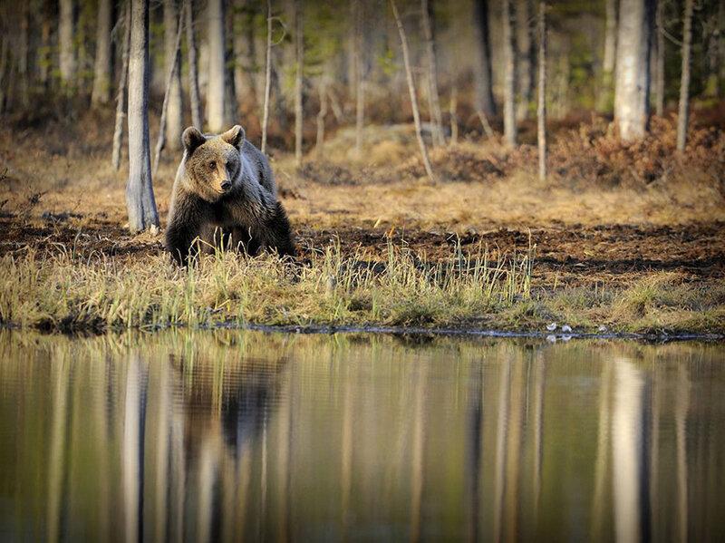 Медведь, Финляндия (Christian Patrick Ricci)