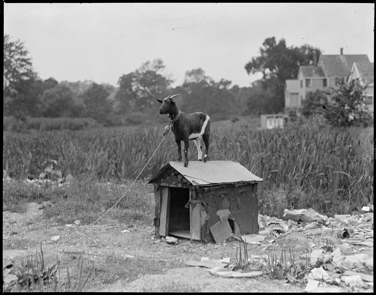 Goat on Roof - Waverly, Mass.jpg