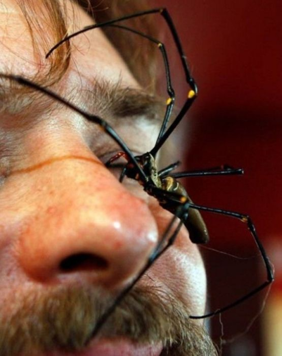 Самый крупный паук, плетущий ловчие сети