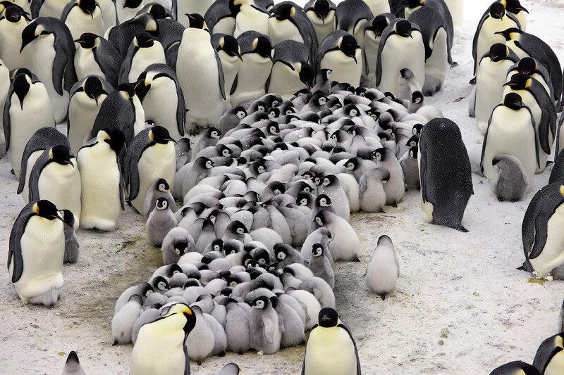 Паника пингвинов