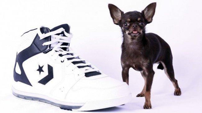 Самая маленькая собака.