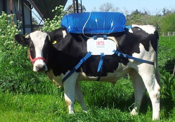 газ из коровы