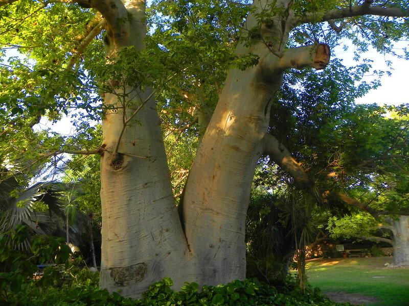 """Баобаб ботанического сада кибуца """"Эйн Геди"""""""
