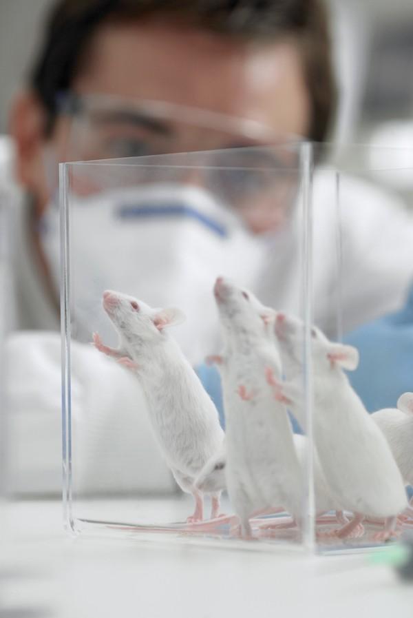 5. Средний возраст мыши в последней стадии существования мышиного рая составил 776 дней, что на 200