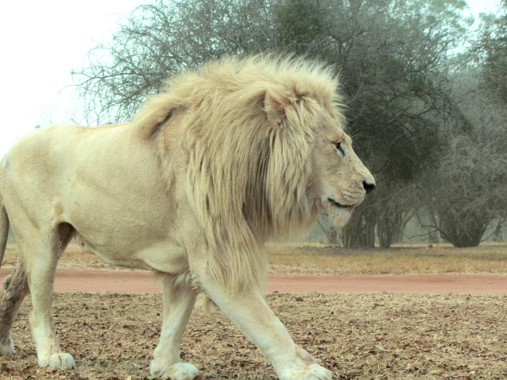 lions52.jpg