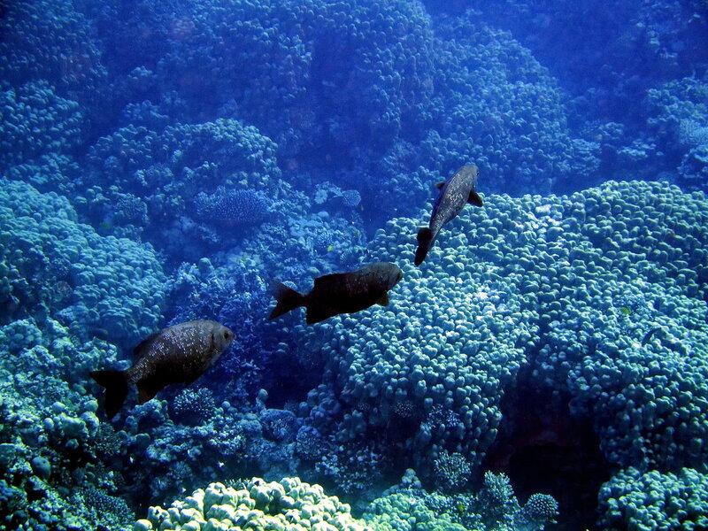 В морских глубинах Красного моря!. Голубые кифозы  на рассвете
