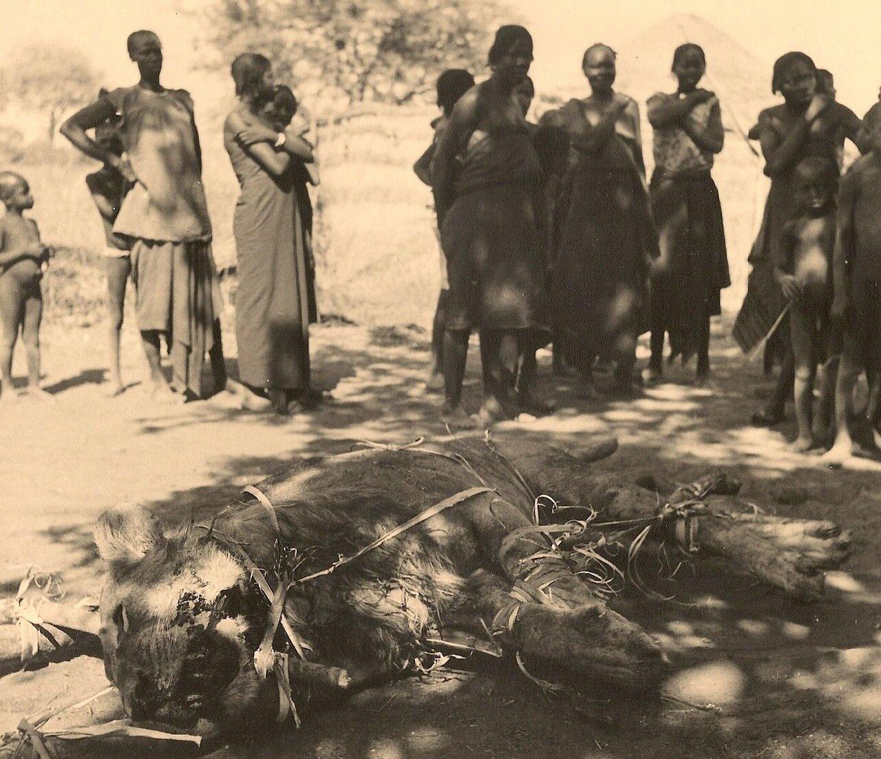 28. Львицу доставили в деревню
